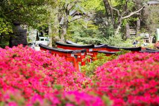 根津神社つつじ祭りの写真・画像素材[1122387]