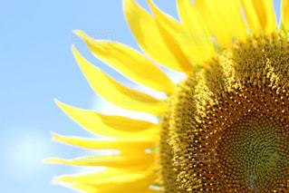 夏,ひまわり,青空,黄色,千葉,夏空,あけぼの山農業公園