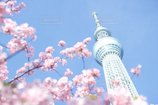 春,桜,東京,青空,スカイツリー,お花見,河津桜