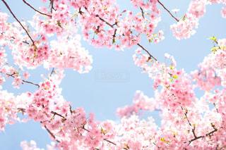 公園,春,桜,青空,お花見,河津桜,林試の森公園