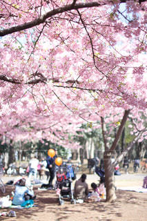 公園,春,桜,お花見,河津桜,林試の森公園