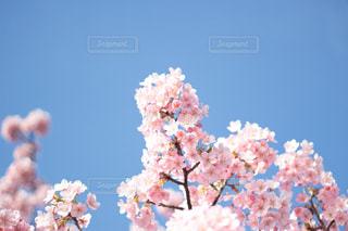 春,桜,東京,青空,お花見,河津桜