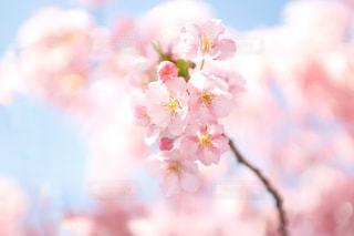 花,春,桜,ピンク,青空,お花見,河津桜
