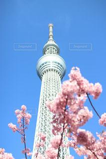 花,春,桜,東京,ピンク,青空,スカイツリー,お花見,河津桜
