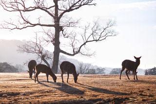 空,動物,太陽,朝日,光,朝焼け,鹿,奈良,奈良公園,朝霜