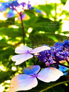 紫陽花の写真・画像素材[549398]