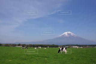 バック グラウンドでアララト山と緑豊かな緑のフィールドに放牧牛の群れの写真・画像素材[1157761]