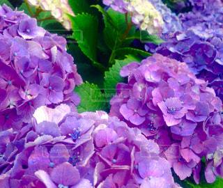 花の写真・画像素材[539031]