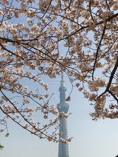 桜,東京,青空,浅草,スカイツリー,隅田川
