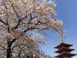 桜,東京,青空,浅草,五重塔,隅田川