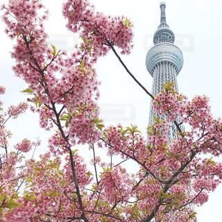 春,桜,ピンク,東京スカイツリー,お花見,桃色,河津桜,早咲き