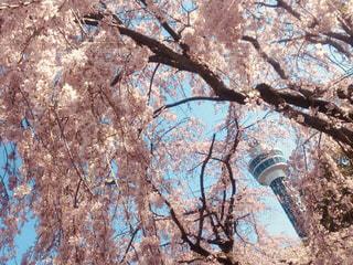 春,桜,ピンク,青空,しだれ桜,お花見,横浜,マリンタワー,神奈川,桃色,枝垂れ桜