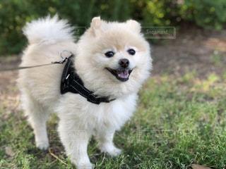 草の中の小さな白い犬立って - No.1220947
