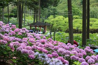 アウトドア,花,雨,紫陽花,梅雨,お散歩,お出かけ,アジサイ,インスタ映え