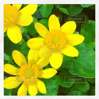 黄色の写真・画像素材[600060]