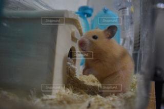 カメラを見て齧歯動物の写真・画像素材[979690]