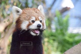 レッサーパンダの写真・画像素材[986368]