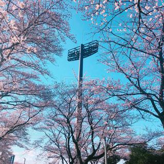 桜の写真・画像素材[1964651]