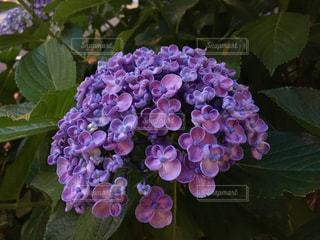 花の写真・画像素材[537286]