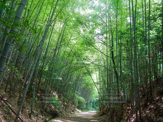 若竹のトンネルの写真・画像素材[1451945]