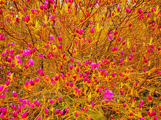 ピンクの花🌸の写真・画像素材[1452166]