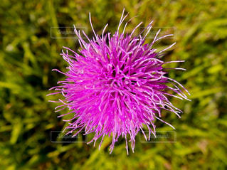 ピンクの花🌸の写真・画像素材[1452194]
