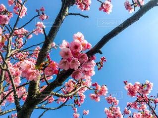梅の花 青空の写真・画像素材[1460666]