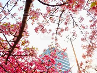 自然,花,春,桜,ビル,屋外,東京,ピンク,花見,都会,桃色,河津桜,3月