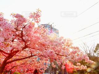 自然,花,春,桜,ビル,屋外,東京,ピンク,花見,都会,桃色,河津桜,三月
