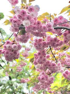 花,春,桜,ピンク,花見,お花見,八重桜