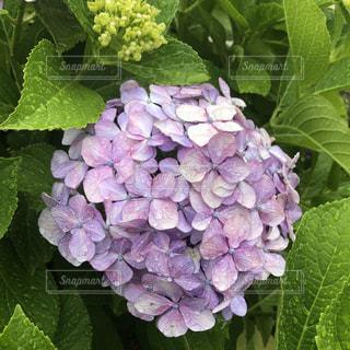 花,雨,きれい,紫,季節,紫陽花,キラキラ,雫,雨粒