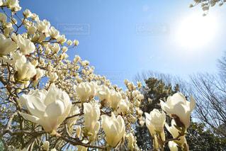 青空,白い花,モクレン