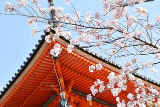 桜,京都,白い花