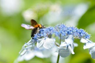 花,青い花,紫陽花,草木,クマバチ,アジサイ