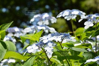 花,景色,青い花,草木,アジサイ
