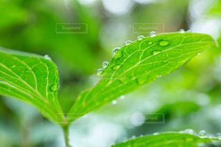 雨,傘,葉っぱ,露,雫,梅雨,6月,しずく,ドロップ,朝露,雨の日