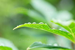 雨,傘,水,葉っぱ,水滴,雫,梅雨,6月,しずく,ドロップ,朝露,雨の日