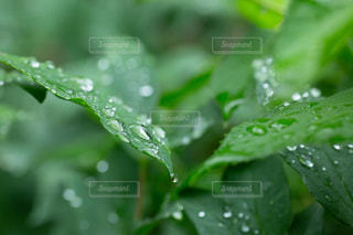 雨,傘,水,葉っぱ,水滴,露,雫,梅雨,6月,しずく,ドロップ,朝露,雨の日