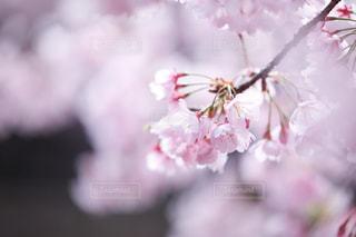 花,春,桜,ピンク,花見,クローズアップ,草木,桜の花,さくら,ブルーム,ブロッサム
