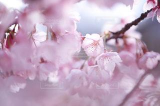 花,春,桜,ピンク,花見,花弁,桜の花,さくら,ブルーム,ブロッサム,ドリーミーフォト