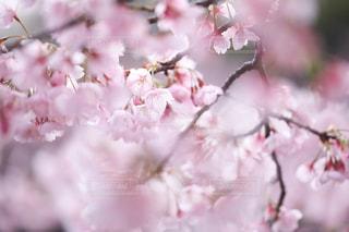 花,春,桜,ピンク,花見,景色,お花見,花弁,桜の花,さくら,ブロッサム