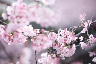 花,春,桜,ピンク,花見,草木,桜の花,さくら,ブロッサム