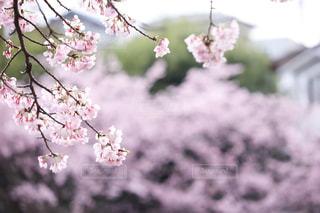 花,春,桜,花見,樹木,草木,花弁,桜の花,さくら,ブロッサム