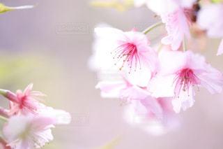 花,桜,ピンク,花見,花びら,お花見,クローズアップ,草木,桜の花,ブルーム,ブロッサム