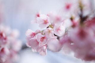 花,春,桜,ピンク,花束,花見,景色,ぼかし,お花見,草木,桜の花,さくら,ブロッサム