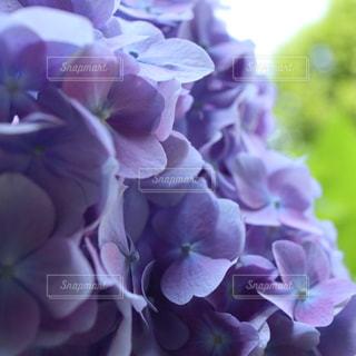 雨,紫,紫陽花,梅雨,アジサイ