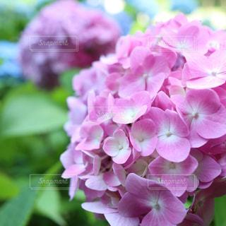 花,雨,ピンク,紫陽花,梅雨,アジサイ