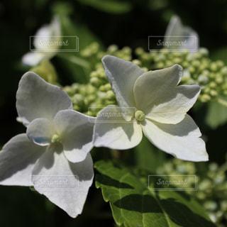 花,雨,紫陽花,梅雨,アジサイ