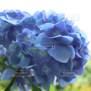 花,雨,青,紫陽花,ブルー,梅雨,色彩,アジサイ