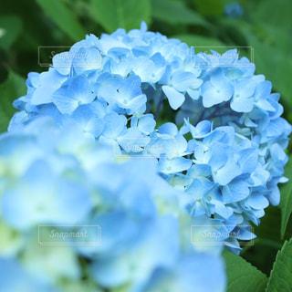 花,青,紫陽花,ブルー,梅雨,色彩,草木,アジサイ